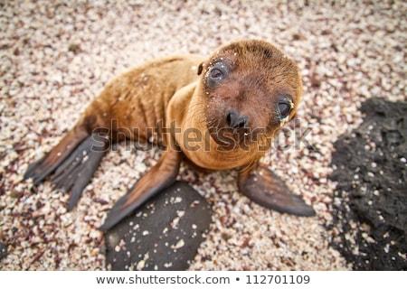 Galapagos animals - Baby Galapagos Sea lions pups and Marine Iguanas Stock photo © Maridav