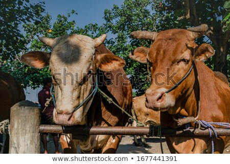 Typical Limousin cows at market Stock photo © ivonnewierink