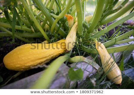 summer squash  Stock photo © saddako2