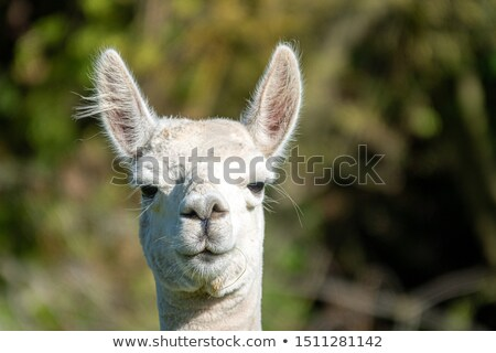 curious llama looking at the camera Stock photo © taviphoto