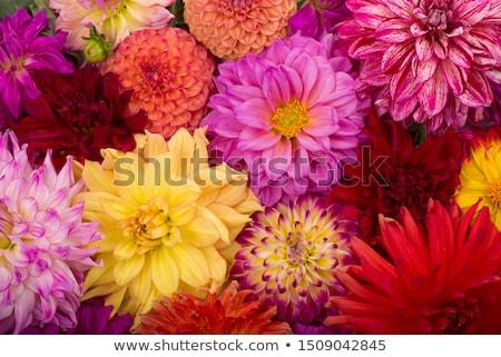 Roze Geel dahlia bloem geïsoleerd bloeien Stockfoto © stocker