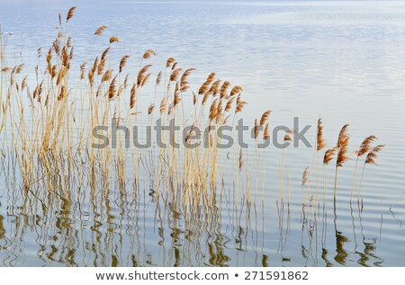 stems of reeds reflected in water Stock photo © Mikko