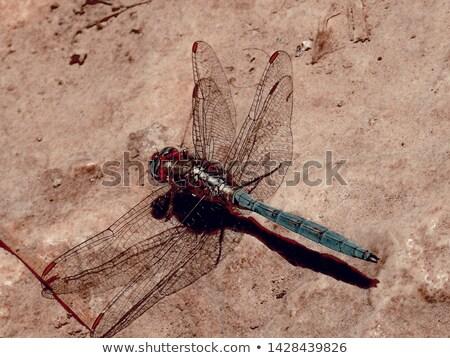 Blue Dragonfly On Sand Stock photo © ryhor