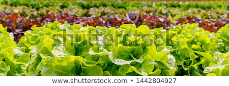 lettuce fields Stock photo © franky242
