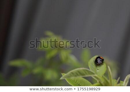 Biedronka czerwony grupy charakter liści zielone Zdjęcia stock © tito