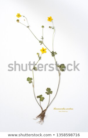 Dried buttercup flowers Stock photo © Mps197