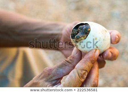 Pequeño americano cocodrilo huevo manos ojo Foto stock © OleksandrO
