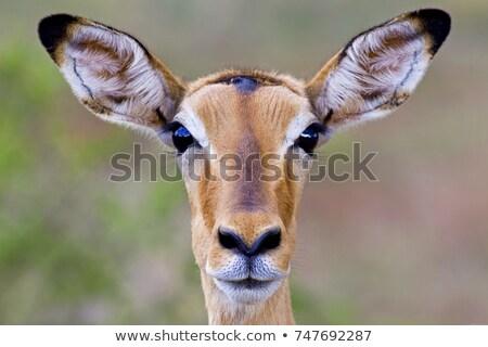Potrait of a baby impala Stock photo © JFJacobsz