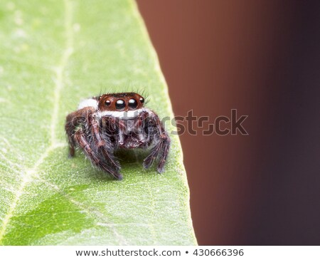 Zebra Jumper Spider Stock photo © arenacreative