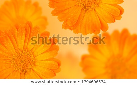 Card template with yellow calendula Stock photo © bluering