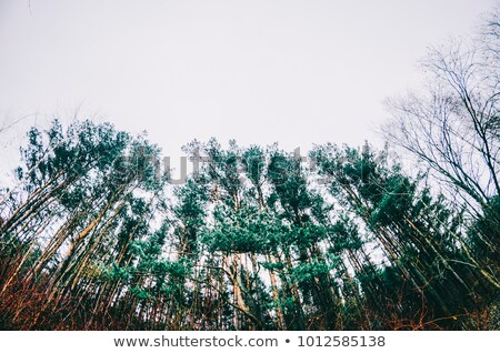 Trees, shot from below Stock photo © IS2