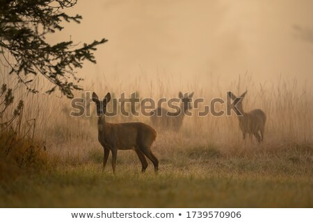 roe deers in foggy morning Stock photo © taviphoto