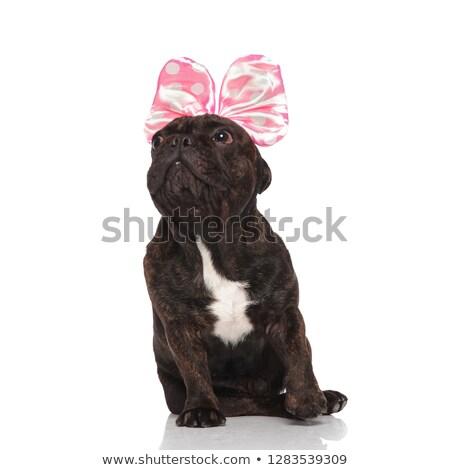 Stockfoto: Curious French Bulldog Wearing Pink Ribbon Headband Looks To Sid