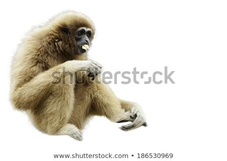 Sarı şempanze örnek beyaz ağaç ahşap Stok fotoğraf © colematt