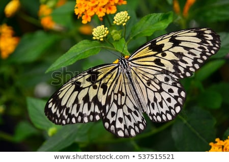 Rice paper butterfly. Idea leuconoe Stock photo © ultrapro