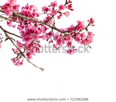 Wild cherry blossoms Stock photo © varts