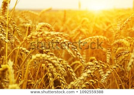 sunbeam on golden corn Stock photo © meinzahn