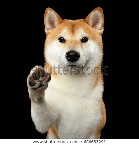 cão · isolado · preto · jack · russell · terrier · olhando · cabelo - foto stock © leungchopan