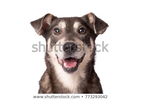mixed breed brown dog portrait in white studio Stock photo © vauvau
