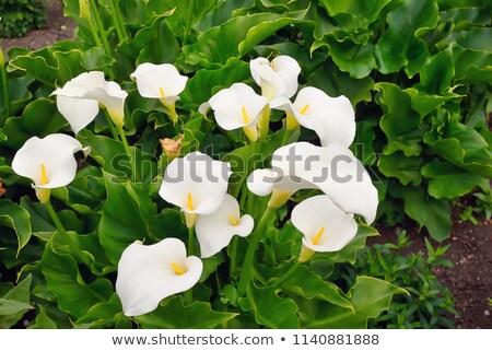 Fehér virág zöld kert virágok tavasz Stock fotó © compuinfoto