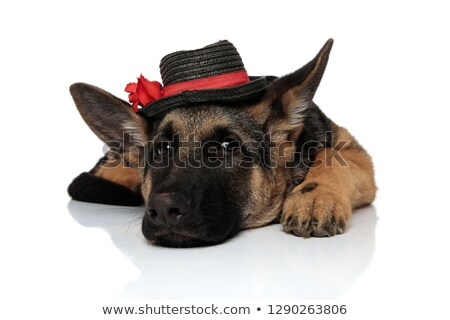 gentleman german shepard wearing black hat resting Stock photo © feedough