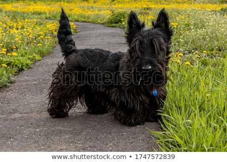 Portrait of an adorable Scottish terrier Stock photo © vauvau