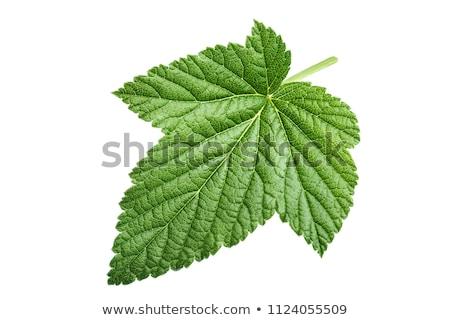isolated autumn blackberry leaf Stock photo © vavlt