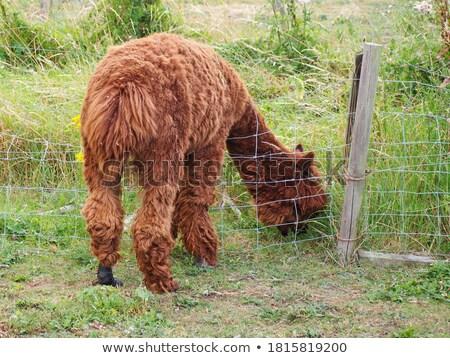 Lama naar bruin boeren natuur Stockfoto © rhamm