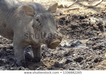 животного · уродливые · глядя · Африка · Постоянный · Буш - Сток-фото © tanart