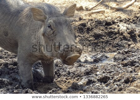 Warthog feeding on its knees Stock photo © TanArt