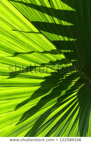 Fan Palm with Sunlight Stock photo © emattil
