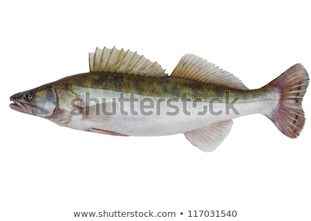 fresh pike perch isolated on a white background  Stock photo © inxti