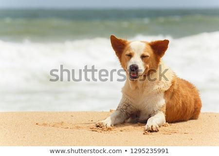 Közelkép indiai fehér kutya pite Stock fotó © ziprashantzi