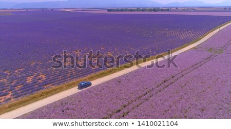 lavender on the road Stock photo © laciatek