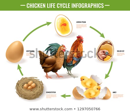 Chicken Life Cycle Chart Stock photo © lenm