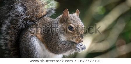 Primer plano cute gris ardilla curioso forestales Foto stock © taviphoto