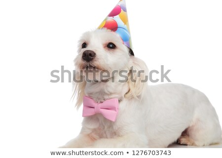 close up of lying birthday bichon wearing pink bowtie Stock photo © feedough