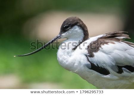 Blanco negro largo hasta aves pluma negro Foto stock © cynoclub