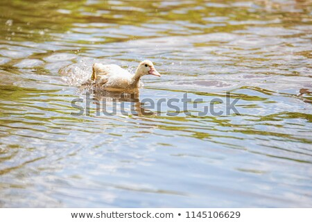 Baby Ducks Swimming Quickly Stock photo © pictureguy