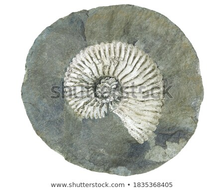 fossilized snail Stock photo © smuki