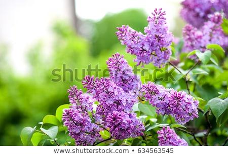 Mor çiçekler ağaç bahar sezon çiçek Stok fotoğraf © pixelman