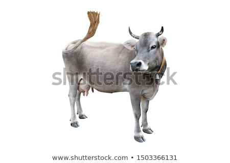 cow looking at camera Stock photo © compuinfoto