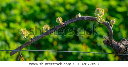 Сток-фото: New Bug And Leaves Sprouting At The Beginning Of Spring On A Trellised Vine Growing In Bordeaux Vine