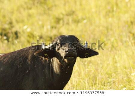 fekete · tehén · közelkép · farm · mezőgazdasági · ipar - stock fotó © taviphoto