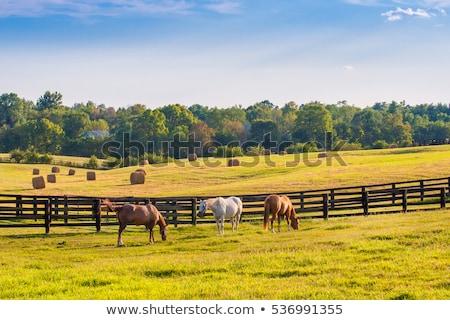 ló · legelő · fehér · ló · hegy · virágok · egyéb - stock fotó © colematt