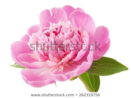 peony flowers tea stock photo © agfoto
