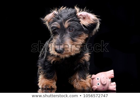 Studio shot of an adorable Dachshund with a pig toy Stock photo © vauvau