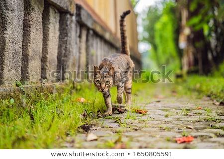 Cute cat walking on a narrow cozy street Ubud Stock photo © galitskaya