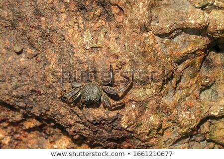 Belle orange crabe sable Photo stock © mnsanthoshkumar