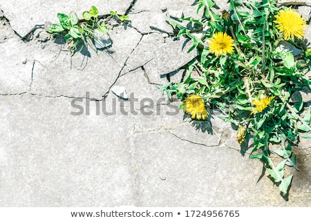 Yellow dandelions (taraxacum officinale)  and Mt.Iwate Stock photo © yoshiyayo